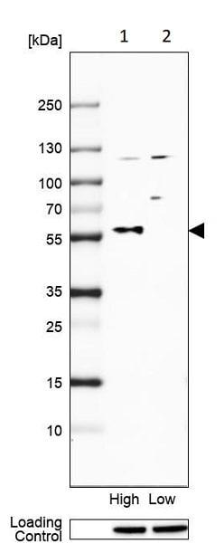 Western blot - Anti-TRIM58 antibody (ab254768)