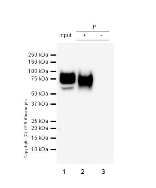 Immunoprecipitation - Anti-Lumican antibody [EPR22511-63] - BSA and Azide free (ab254995)