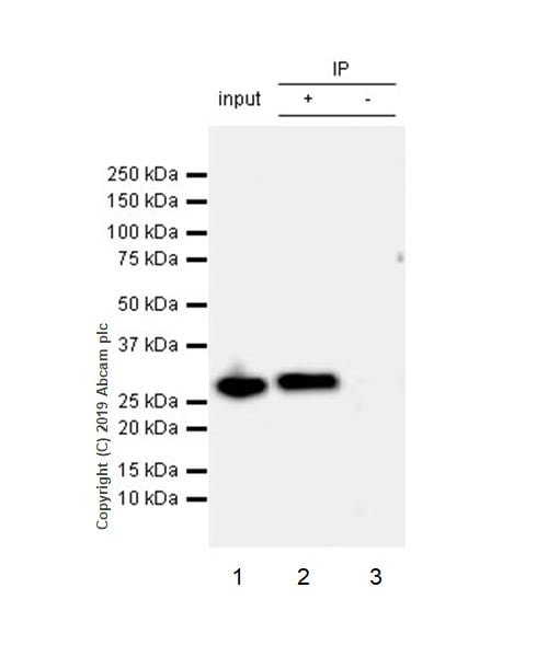 Immunoprecipitation - Anti-C15orf41 antibody [EPR21169-28] - BSA and Azide free (ab255269)