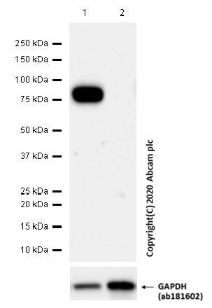 Western blot - Anti-CD36 antibody [EPR22509-40] - BSA and Azide free (ab255331)