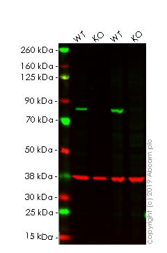 Western blot - Human CANX knockout HEK293T cell line (ab255368)