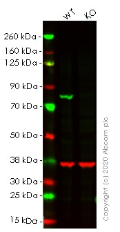 Western blot - Human CANX (Calnexin) knockout HEK293T cell line (ab255368)