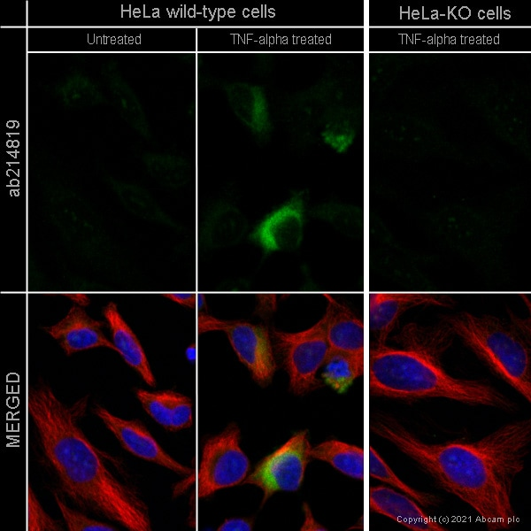 Immunocytochemistry - Human CCL2 (MCP1) knockout HeLa cell line (ab255372)