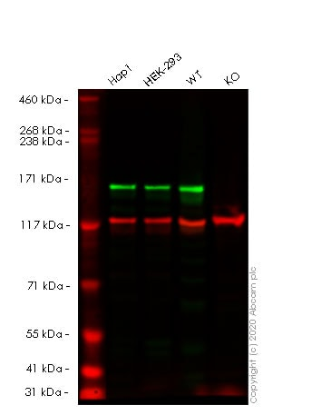Western blot - Human MSH6 knockout HeLa cell line (ab255410)