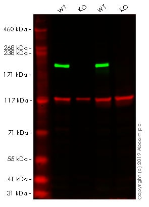 Western blot - Human SMARCA4 knockout HEK293T cell line (ab255432)