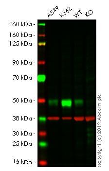 Western blot - Human TGFB1 knockout HeLa cell line (ab255439)
