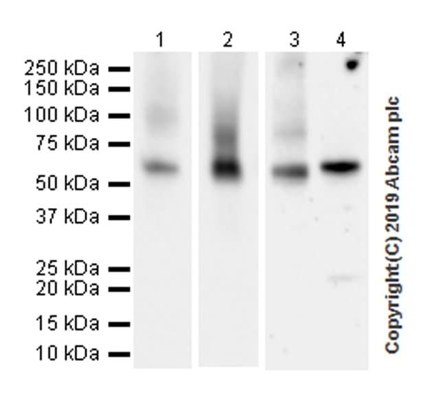 Western blot - Anti-Glypican 1/ GPC1 antibody [EPR22580-72] (ab255600)