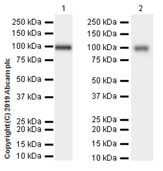 Western blot - Anti-CD10 antibody [EPR22865-73] (ab255609)