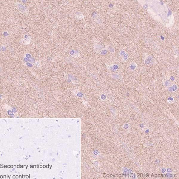 Immunohistochemistry (Formalin/PFA-fixed paraffin-embedded sections) - Anti-Caspr2/CNTNAP2 antibody [K67/25] - BSA and Azide free (ab255760)