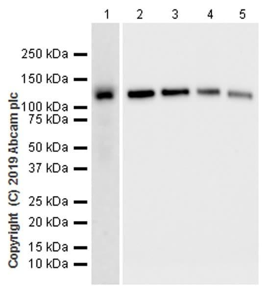 Western blot - Anti-CASK antibody [K56A/50] - BSA and Azide free (ab255764)