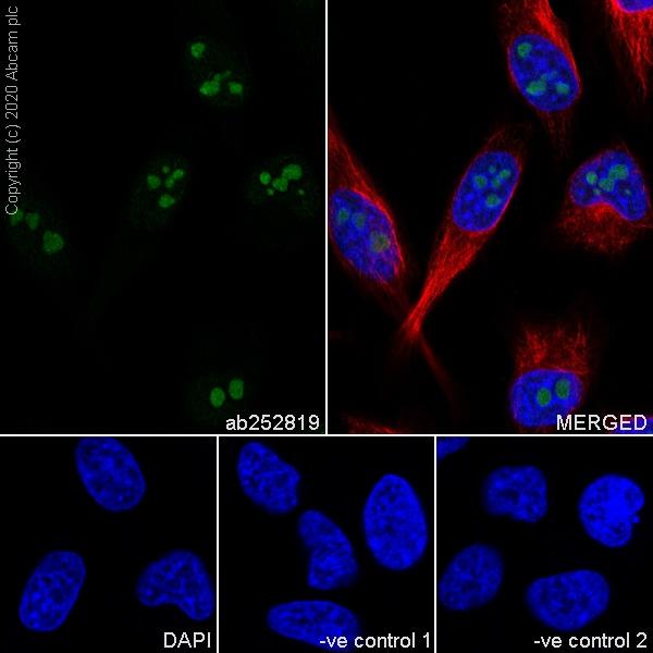 Immunocytochemistry - Anti-BOP1 antibody [6H11] - BSA and Azide free (ab255775)