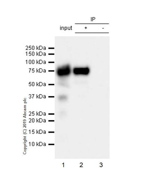 Immunoprecipitation - Anti-alpha 1 Fetoprotein antibody [EPR22560-268] (ab255813)
