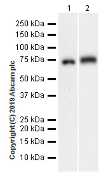 Western blot - Anti-alpha 1 Fetoprotein antibody [EPR22560-268] (ab255813)