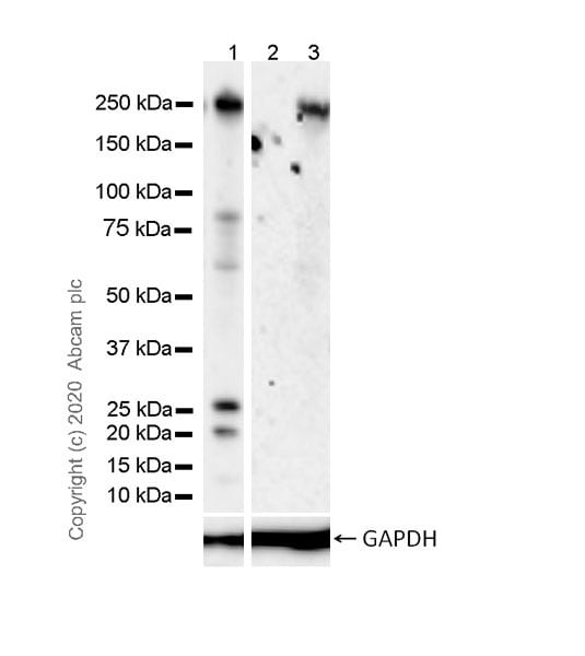 Western blot - Anti-NOTCH3 antibody [8G5] - BSA and Azide free (ab255839)