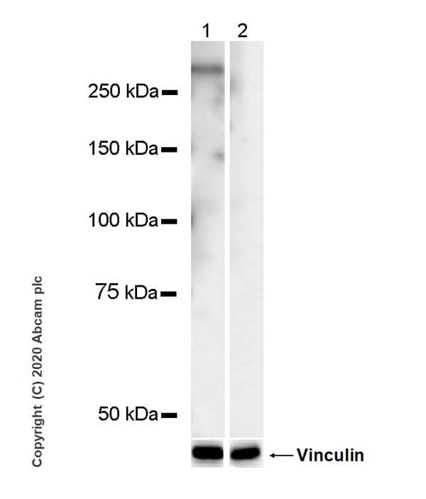 Western blot - Anti-RNA polymerase II CTD repeat YSPTSPS (phospho T4) antibody [6D7] - BSA and Azide free (ab255845)