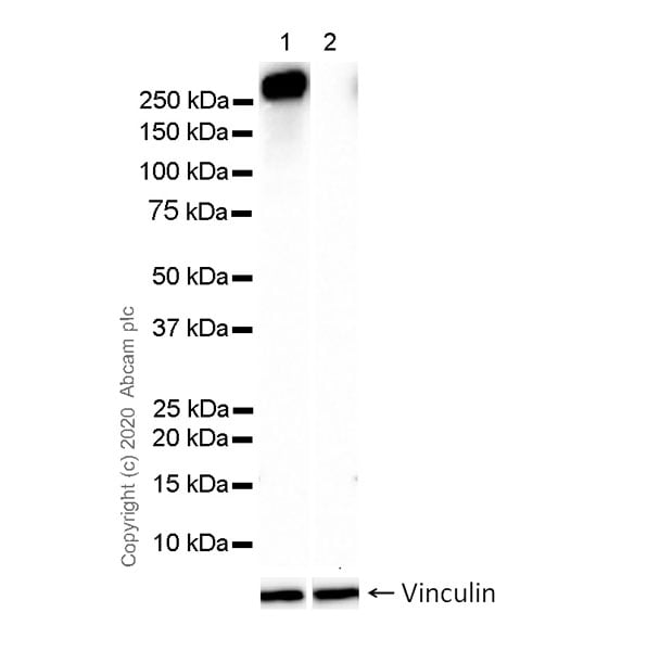 Western blot - Anti-RNA polymerase II CTD repeat YSPTSPS (phospho S7) antibody [4E12] - BSA and Azide free (ab255847)