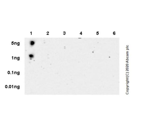 Dot Blot - Anti-RNA polymerase II CTD repeat YSPTSPS (phospho S2) antibody [3E10] - BSA and Azide free (ab255849)