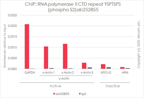 ChIP - Anti-RNA polymerase II CTD repeat YSPTSPS (phospho S2) antibody [3E10] - BSA and Azide free (ab255849)