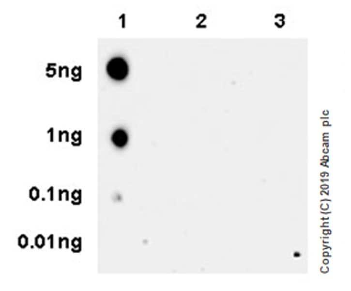 Dot Blot - Anti-RNA polymerase II CTD repeat YSPTSPS (phospho S2) antibody [EPR18855-87] - BSA and Azide free (ab255866)