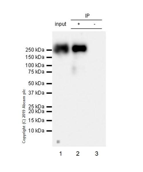 Immunoprecipitation - Anti-RNA polymerase II CTD repeat YSPTSPS (phospho S2) antibody [EPR18855-87] - BSA and Azide free (ab255866)