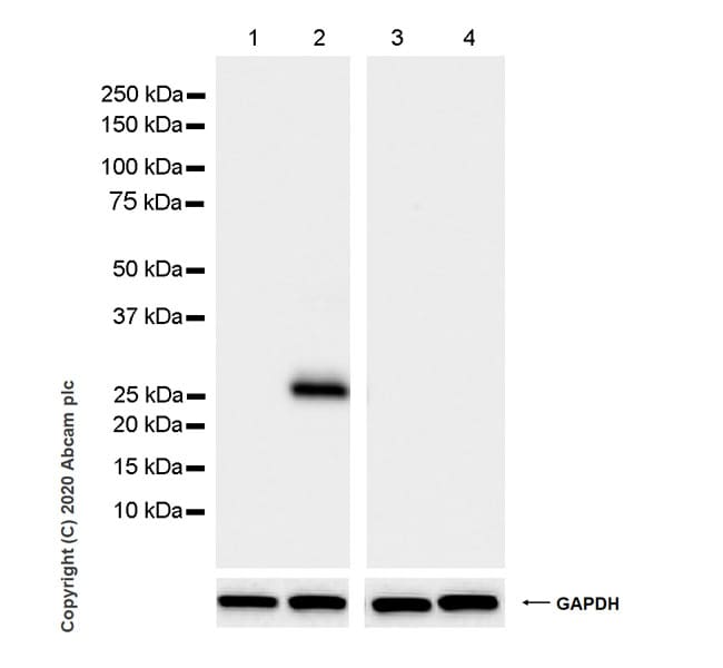 Western blot - Anti-GFP antibody [3H9] - BSA and Azide free (ab255886)