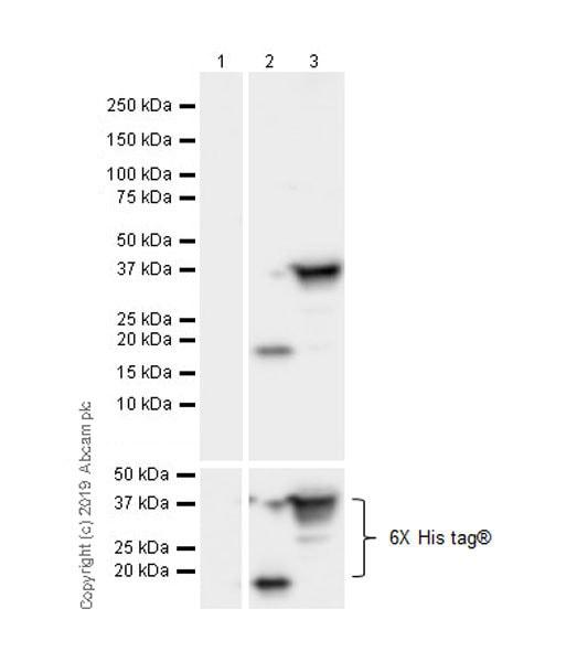 Western blot - Anti-6X His tag® antibody [3D5] - BSA and Azide free (ab255888)
