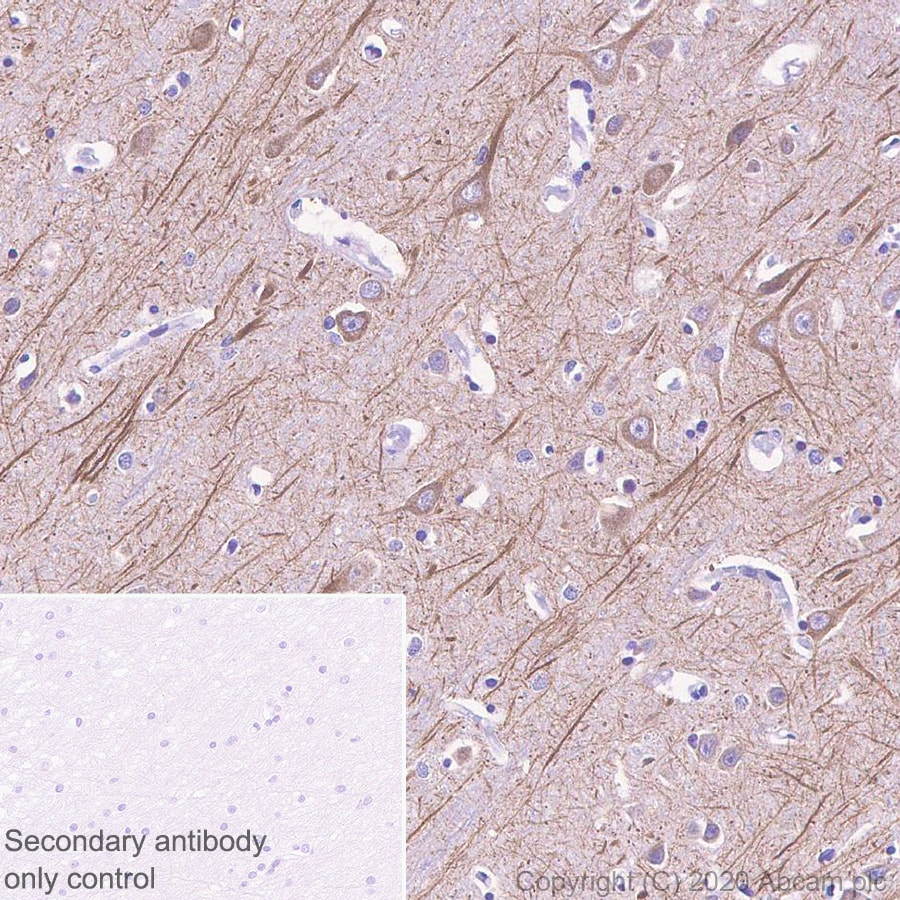 Immunohistochemistry (Formalin/PFA-fixed paraffin-embedded sections) - Anti-MAP2 antibody [AA5] - BSA and Azide free (ab255895)