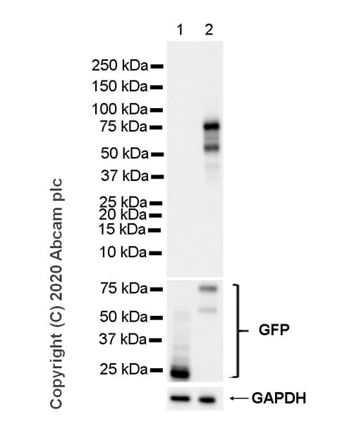 Western blot - Anti-FOXP3 antibody [221D] - BSA and Azide free (ab255942)