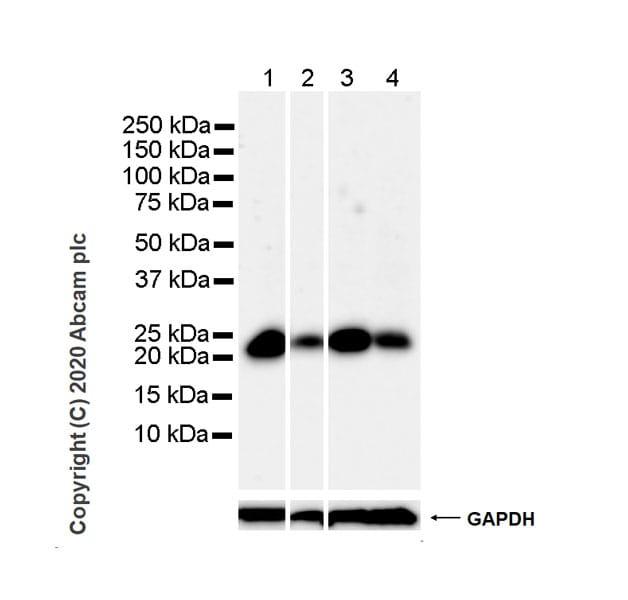 Western blot - Anti-MGMT antibody [MT3.1] - BSA and Azide free (ab255966)
