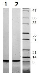 SDS-PAGE - Recombinant human IGF2 protein (Active) (ab256027)