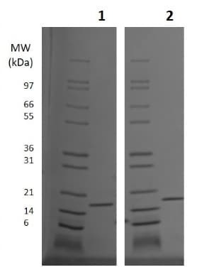 SDS-PAGE - Recombinant IL-10 protein (ab256035)