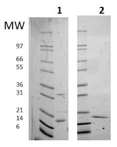 SDS-PAGE - Recombinant Human IL-16 protein (Active) (ab256039)