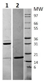 SDS-PAGE - Recombinant human IL-17A protein (ab256041)