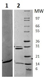 SDS-PAGE - Recombinant mouse IL-17A protein (Active) (ab256042)