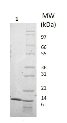SDS-PAGE - Recombinant human IL-22 protein (Active) (ab256055)
