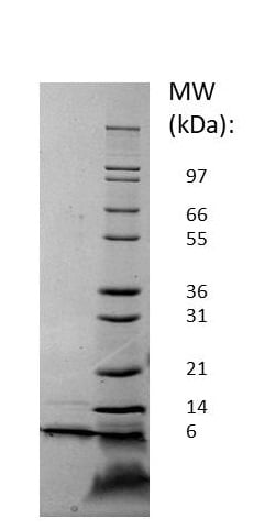 SDS-PAGE - Recombinant Mouse SDF1 protein (ab256105)