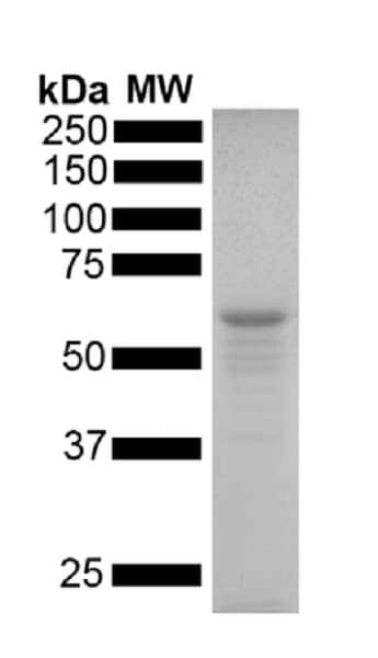 SDS-PAGE - Recombinant human Tau (mutated P301S) protein monomer (Active) (ab256153)