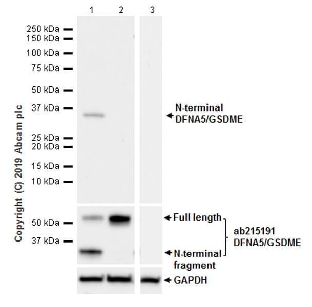 Western blot - Anti-DFNA5/GSDME antibody [EPR20867-248] - BSA and Azide free (ab256165)