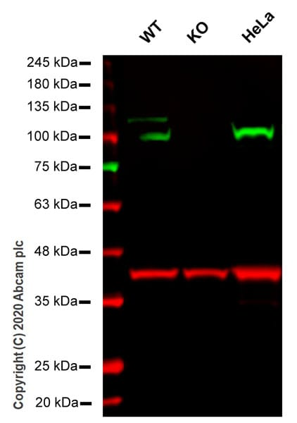 Western blot - Anti-GRP94 antibody [EPR22847-50] - BSA and Azide free (ab256312)