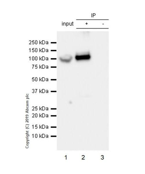 Immunoprecipitation - Anti-GRP94 antibody [EPR22847-50] - BSA and Azide free (ab256312)