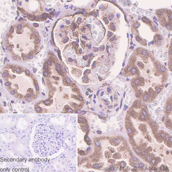 Immunohistochemistry (Formalin/PFA-fixed paraffin-embedded sections) - Anti-GRP94 antibody [EPR22847-50] - BSA and Azide free (ab256312)