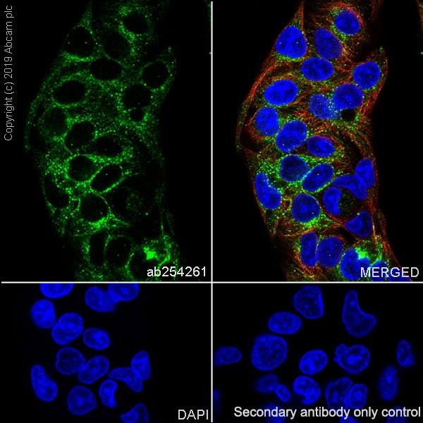 Immunocytochemistry/ Immunofluorescence - Anti-Asialoglycoprotein Receptor 1/HL-1 antibody [EPR22639-68] - BSA and Azide free (ab256352)