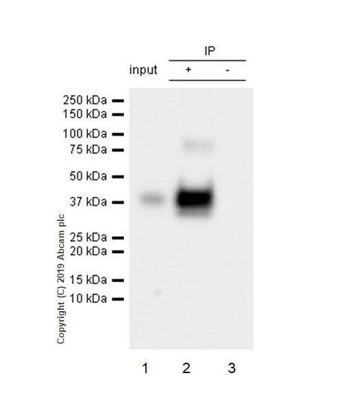 Immunoprecipitation - Anti-Asialoglycoprotein Receptor 1/HL-1 antibody [EPR22639-68] - BSA and Azide free (ab256352)