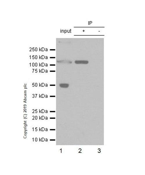 Immunoprecipitation - Anti-C5a antibody [EPR19699-24] - BSA and Azide free (ab256354)