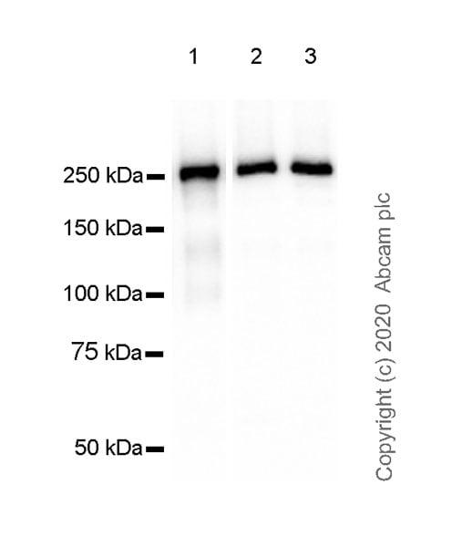 Western blot - Anti-Laminin beta 1 antibody [EPR23265-32] (ab256380)