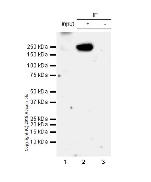 Immunoprecipitation - Anti-Tuberin antibody [EPR22886-235] - BSA and Azide free (ab256472)