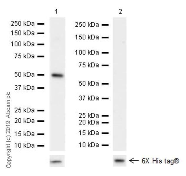 Western blot - Anti-eRF3/GSPT1 antibody [EPR22908-103] - BSA and Azide free (ab256478)