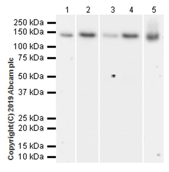 Western blot - Anti-TRIM24 antibody [EPR22825-2] (ab256491)