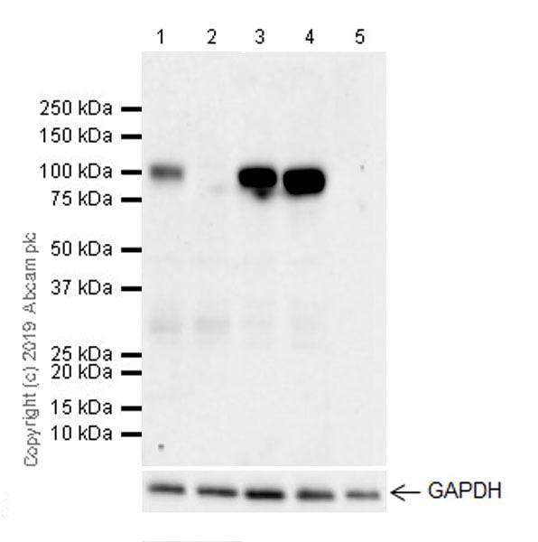Western blot - Anti-CD10 antibody [EPR22867-118] (ab256494)