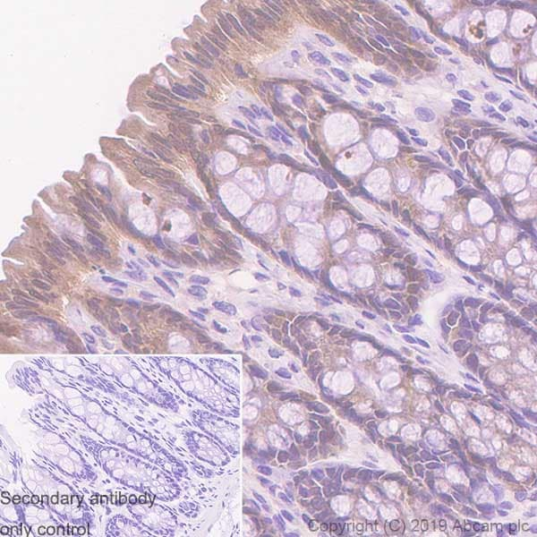Immunohistochemistry (Formalin/PFA-fixed paraffin-embedded sections) - Anti-Caspase-7 antibody [EPR22839-12] - BSA and Azide free (ab256539)